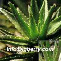Large picture Aloe Extract