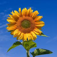 Large picture Oil (refined & crude sunflower oil)