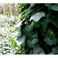 Large picture Ivy extract Hederagenin Hederacosides