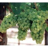 Large picture grapes
