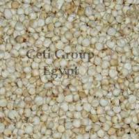 Large picture sorghum