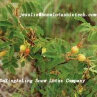 Large picture Rose hip extract powder