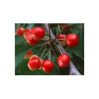 Large picture Crataegus dahurica extract