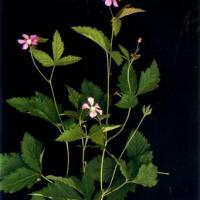 Large picture Rubus arcticus extract