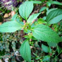 Large picture Acalypha australis Extract