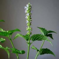 Large picture Agastache rugosa extract