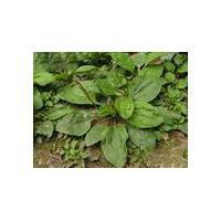 Large picture Plantago asiatica extract