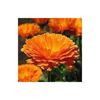 Large picture Calendula officinalis extract