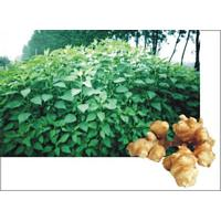 Large picture Helianthus tuberosus extract