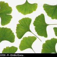 Large picture Green Ginkgo Leaf