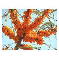 Large picture Sea Buckthorn Extract Powder