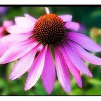 Large picture Echinacea Purpurea Extract Powder