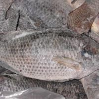 Large picture tilapia WR