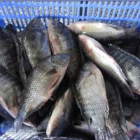 Large picture tilapia GS