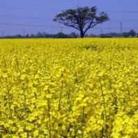 Large picture RRO - Refined Rapeseed Oil  T2L and EU Origin