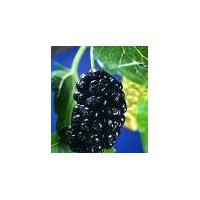 Large picture Mulberry Berry Extract  4:1