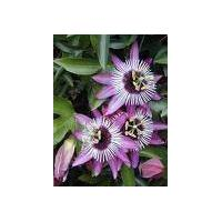 Large picture Passion Flower Extract 2% 3% 4% Flavone