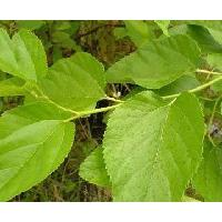 Large picture Mulberry Leaf extract