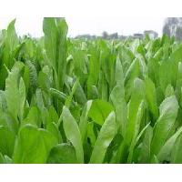 Large picture Chicory Extract