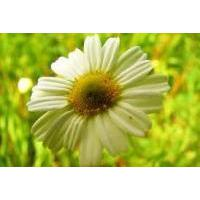 Large picture Chamomile Oil