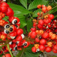 Large picture Guarana extract