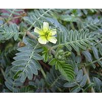 Large picture Tribulus terrestris extract
