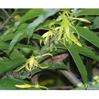Large picture Ylang Ylang Oil
