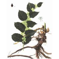 Large picture Giant Knotweed Extract 98% Resveratrol