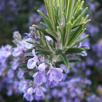 Large picture Rosemary Herb Extract
