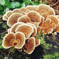 Large picture Coriolus Mushroom Extract