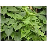 Large picture Tuber Fleeceflower Root Extract