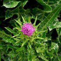 Large picture Milk Thistle Powder Extract