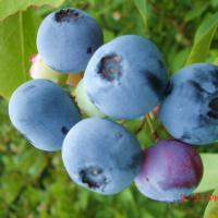 Large picture Bilberry Extract