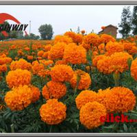 Large picture Herbal extract, Marigold Extract, Lutein 5% - 80%