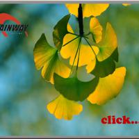 Large picture Herbal extract, Ginkgo Biloba Extract