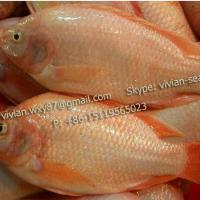 Large picture Frozen Red Tilapia Fish (Oreochromis Niloticus)