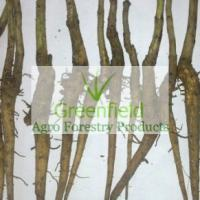 Large picture Teak root shoot (Tectona Grandis)