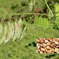 Large picture Astragalus Root Extract