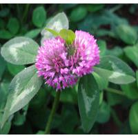 Large picture Red Clover P.E.