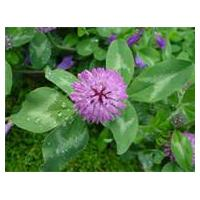 Large picture Red Clover Extract 20% Isoflavones