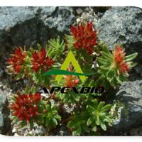 Large picture Rhodiola Rosea Extract