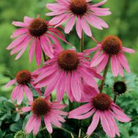Large picture Echinacea Purpurea extract