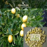 Large picture Lemon seeds (Citrus)