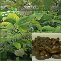 Large picture Custard apple fruit seeds ( Annona Reticulata )