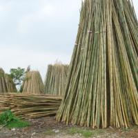Large picture vietnam natural bamboo poles