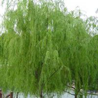 Large picture White Willow Bark Extract