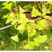 Large picture Gingko Biloba P.E.